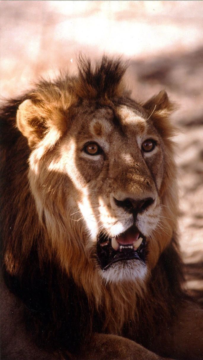 Lion, the king of Jungle
